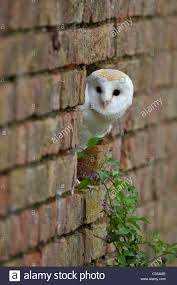 Barn Owl, Tyto Alba, Captive, Looking Out Of Brick Wall, With ... This Galapagos Barn Owl Lives With Its Mate On A Shelf In The Baby Barn Owl Owls Pinterest Bird And Animal Magic Tito Alba Sitting On Stone Fence In Forest Barnowl Real Owls Echte Uilen Wikipedia Secret Kingdom Young Tyto Roost Stock Photo 206862550 Shutterstock 415 Best Birds Mostly Uk Images Feather Nature By Annette Mckinnnon 63 2 30 Bird Great Grey