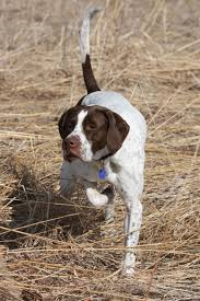 Best Hunting Dogs That Dont Shed by Img 0957k Hunting Dogs Dog And Animal