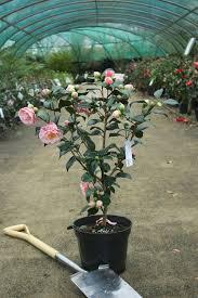entretien du camelia en pot camellia japonica comtesse lavinia maggi