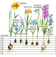 step by step bulb planting guide bulbs planting and chart