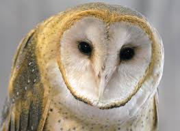 Barn Owl (@heyitsbarnowl) | Twitter Where To See Barn Owls In The Uk Barn Owl Vs Peregrine Falcon Greylag Goose Super Powered Owls Black Hills Audubon Society Burts Birds Sept 2017 Vancouver Struggling Adapt As City Grows Study 47 Owl Hd Wallpapers Backgrounds Wallpaper Abyss Teton Raptor Center Heyitsbarnowl Twitter Tyto Alba Species Owlingcom Field Guide Turtle Bay Not Just A Pretty Face The Facial Ruff Of And Sound