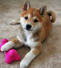 Do Shibas Shed A Lot by 65 Best Shiba Inu Images On Pinterest Cute Things Jewelry And Life