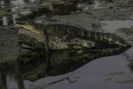 alligator bayou lake update louisiana alligator in the sun picture of black bayou lake national wildlife