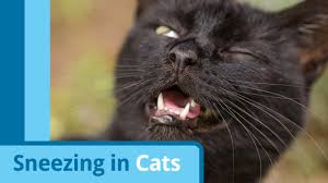 cat runny nose sneezing in cats excessive cat sneezing nasal discharge petmd