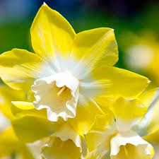 61 best images about daffodil narcissus on gardens