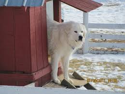 Guard Dogs That Dont Shed by Livestock Guard Dog Appalachian Great Pyrenees Rescue