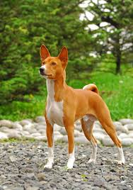 Basenji Shedding Puppy Coat by Basenji Grooming Bathing And Care Espree Animal Products