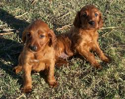 Red White Irish Setter Shedding by Puppy World Irish Setter Puppy Pictures