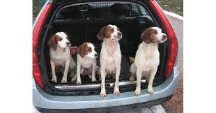 highlight on hunting dogs brittany
