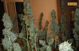 recolte cannabis exterieur date séchage et manucure du cannabis du growshop alchimia