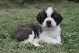 buying a puppy shadow mountain bernards