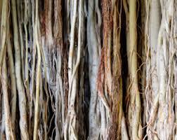 Tree Art Nature Photography Hawaiian Banyan Roots Fine