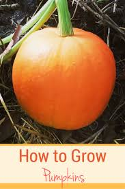 Keep Pumpkins From Rotting On Vine by Growing Pumpkins