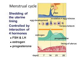 shedding uterine lining before period menstrual cycle shedding of the uterine lining ppt