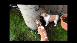 Stop Rat Terrier Shedding by Jack Russell Terriers Kill Huge Rat In Composter Youtube