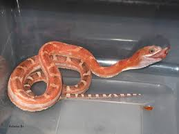 Corn Snake Shedding Signs by Texas Rat Snake Care Sheet