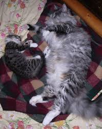 forest cat vs maine coon maine coon cat size comparison maine coon cat size related