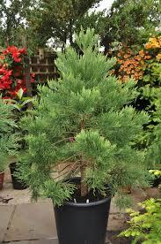 Christmas Tree Saplings Ireland by Redwood World Redwood Trees For Sale