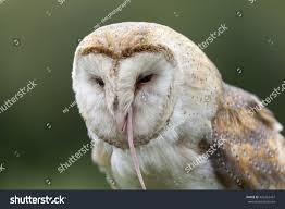 Barn Owl Eating Mouse Stock Photo 426363457 - Shutterstock Barn Owl Eating Mouse Sussex Uk Tyto Alba Stock Photo Royalty Bird Of The Month Owl Barn A Free Image 51931121 How To Attract Owls Your Yard 1134 Best Birdsstrigiformesowls Images On Pinterest Wikipedia Facts Pictures Diet Breeding Habitat Behaviour Eating Picture And 1861 Owls Snowy Saw Whets Chick Raptor Conservancy Virginia Baby And Animal