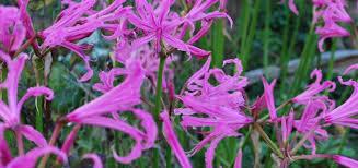 nerine dahlias summer flowering bulbs products