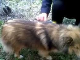 Sheltie Shedding Puppy Coat by The Hair Raiser De Shedding Comb And A Sheltie Youtube