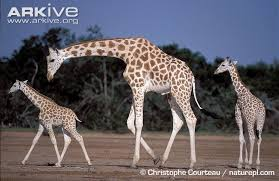 Adult West African Giraffe With Two Infants