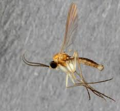 Exotic Flies In The Backyard: New Gnat Species From Museum ... 7 Tips For Fabulous Backyard Parties Party Time And 100 Flies In Get Rid Of Best 25 How To Control In Your Home Yard Yellow Fly Identify Of Plants That Repel Flies Ideas On Pinterest Bug Ants Mice Spiders Longlegged Beyond Deer Fly Control Pest Chemicals 8008777290 A Us Flag Flew Iraq Now The Backyard Jim Jar O Backyard Chickens To Kill Mosquitoes Mosquito Treatment Picture On And Fascating