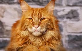 orange cat names 59 most popular maine coon cat names