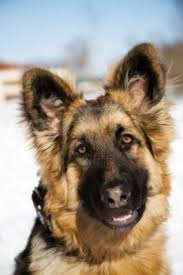 Non Shedding Large Dogs by The 25 Best German Shepherd Shedding Ideas On Pinterest