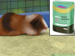 Pine Bedding For Guinea Pigs by How To Care For Guinea Pigs With Pictures