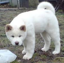 do haired akitas shed 2189 best my akitas images on akita