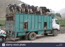 100 Cattle Truck For Sale Are Transported Both Inside And On The Roof Of An Aging Truck