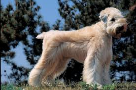 Do Wheaten Terriers Shed by Soft Coated Wheaten Terrier Dog Breeds At Mypetsmart Com