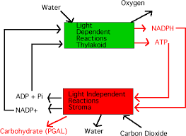 synthesis Light Dependent Reactions Diagram