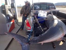 Florida Angler Stops For Gas With Giant Mako Shark Stuffed In Bed Of ... Bedryder Truck Bed Seating System Pickup Flat Beds Mombasa Canvas How To Measure Your Accsories Living In A A Manifesto One Girl On The Rocks Traveling With Your Pet This Holiday Part 4 Mckinney Animal Florida Angler Stops For Gas Giant Mako Shark Stuffed Bed Of Product Review Napier Outdoors Sportz Tent 57 Series Motor Bedslide Truck Sliding Drawer Systems Techliner Liner And Tailgate Protector For Trucks Weathertech 2019 Silverado 1500 Durabed Is Largest Can New Honda Ridgeline Be Called The Drive