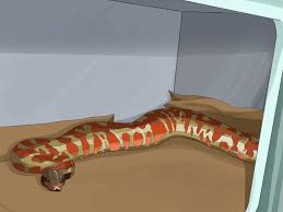 Corn Snake Shedding Too Often by How To Safely Extract And Store Snake Venom With Pictures