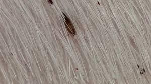 Fleas Hardwood Floors Borax by Where Do Fleas Lay Eggs Fleascience