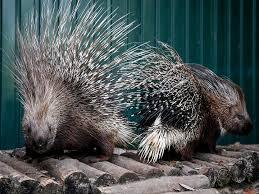 Porcupine Eats Pumpkin by Our Animals Berdyansk Zoo Safari