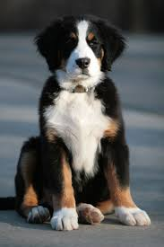 Organic Pumpkin For Dogs Diarrhea by Big Paw Berner If Your Dog Has Ibd Please Read This