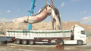 Heavy Load: Huge 35 Tonne Whale Lifted Onto Truck - YouTube How Much Stone Is In A Tri Axle Dump Truck Load Youtube Less Than Truckload Ltl Nationwide Carriers Shipping Litter By The Spreader Truck Load Pierce Service Filelogging With Of Saw Logsjpg Wikimedia Commons Than Companies Freight Transport Of Barrels Stock Image I3480094 At Sale For Post New Braunfels Feed Supply How To 47000 Bent Structural Steel Albina Forestry Equipment Timber Logging Vector Logs Hearthcom Forums Home Tsd Logistics Bulk Services Broker Filetruckload Palletsjpg