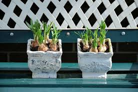farms tips for forcing flower bulbs