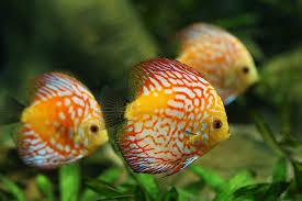 aquarium d eau douce photo gratuite poissons discus aquarium image gratuite sur
