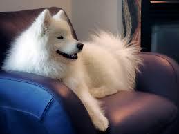 Do Samoyed Huskies Shed by Grooming Samoyed Club Of America