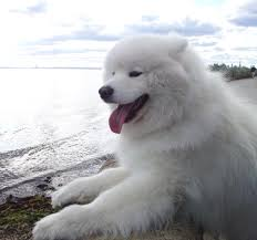 Do Samoyed Dogs Shed Hair by Dogs Are Not Impure U0027 Says Prominent Islamic Scholar Egyptian
