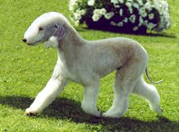 Dogs That Dont Shed Bad by 30 Non Moulting Dogs Best Hypoallergenic Breeds That Don U0027t Shed