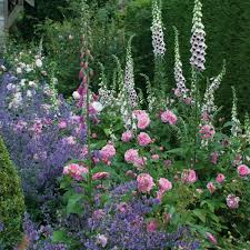 Ausbord Gertrude Jekyll Rose In The Mixed Border Like This With
