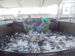 It Involves Both A Hatchery For The Production Of Catfish Fingerlings Up To 10 Grams Weight Each And Growth Aquaculture System