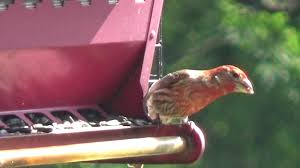 House Finch In Backyard - YouTube Backyard Bird Watching House Finch Nest 5 Weeks Complete Feeding Finches Graycrowned Rosyfinch Audubon Field Guide Free Images Nature Wilderness Branch Seed Animal Summer At Feeder Stock Photo Image 82153967 How To Offer Nyjer Birds Birding Two Great Books For Those Who Enjoy Pet Upside Down Wild Tube Essentials Triple Supoceras Ornithology Finch Breeding Attract Goldfinches Your Dgarden Sfv Idenfication San Fernando Valley Society