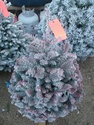 Flocked Real Christmas Trees by Deerbrooke Farm Photo Gallery Premium Christmas Tree Lot In Las