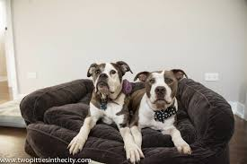 Drs Foster And Smith Dog Beds by Two Pitties In The City The Pups U0027 New Bed Arrives